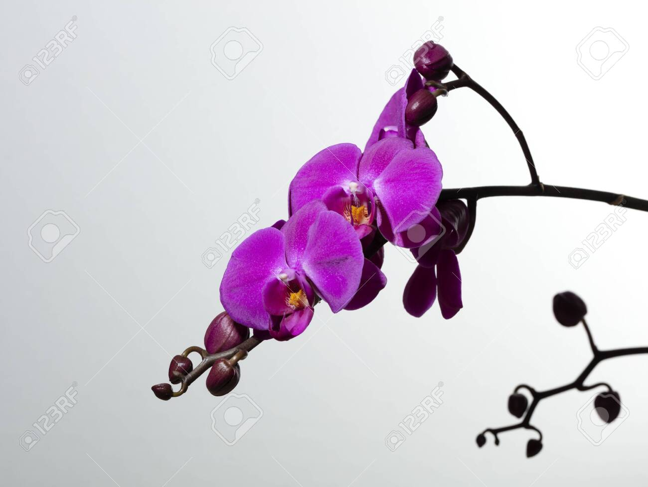 branch of purple orchids and buds on white background, free space for text - 123523718