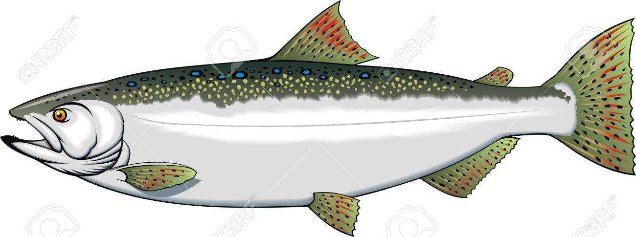 illustrated nice trout isolated on white background Stock Vector - 20778256