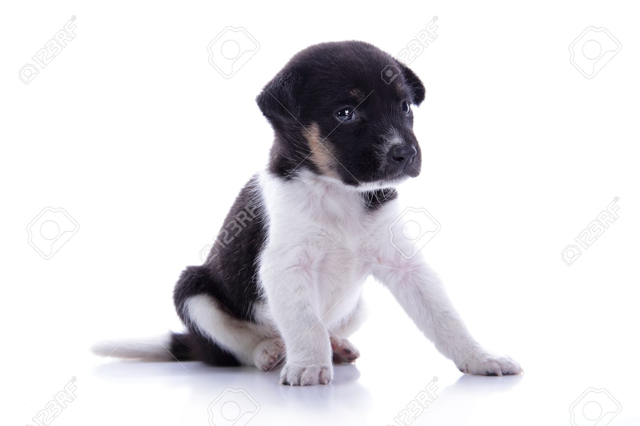 Amazing Sad Black Adorable Dog - 45094619-adorable-black-and-white-colored-puppy-dog-sitting-with-sad-face-isolated-on-ehite-background  Best Photo Reference_655875  .jpg
