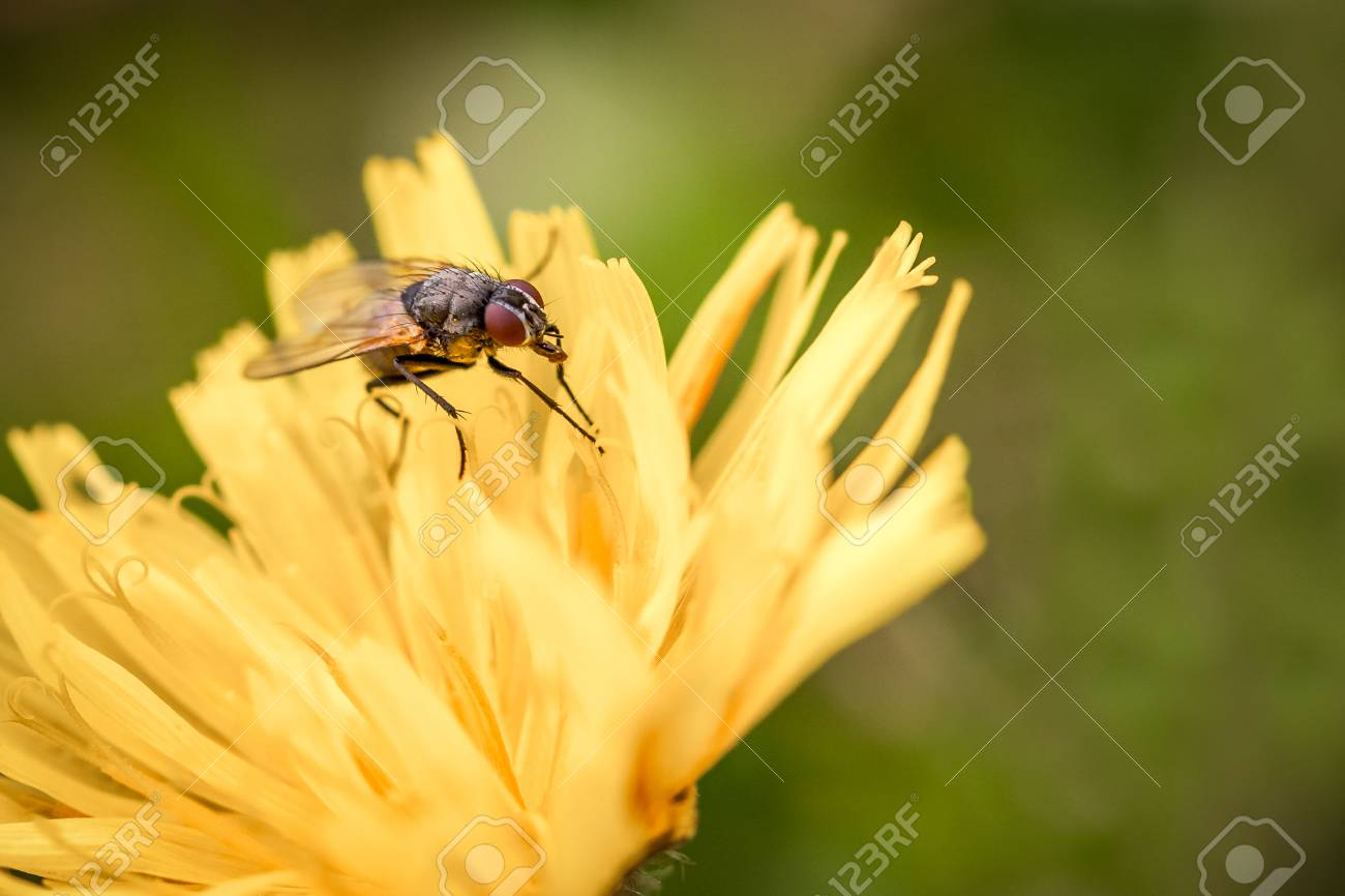 Macro shot of a fly sitting on a yellow flower, summer outdoors. Stock Photo - 94882601