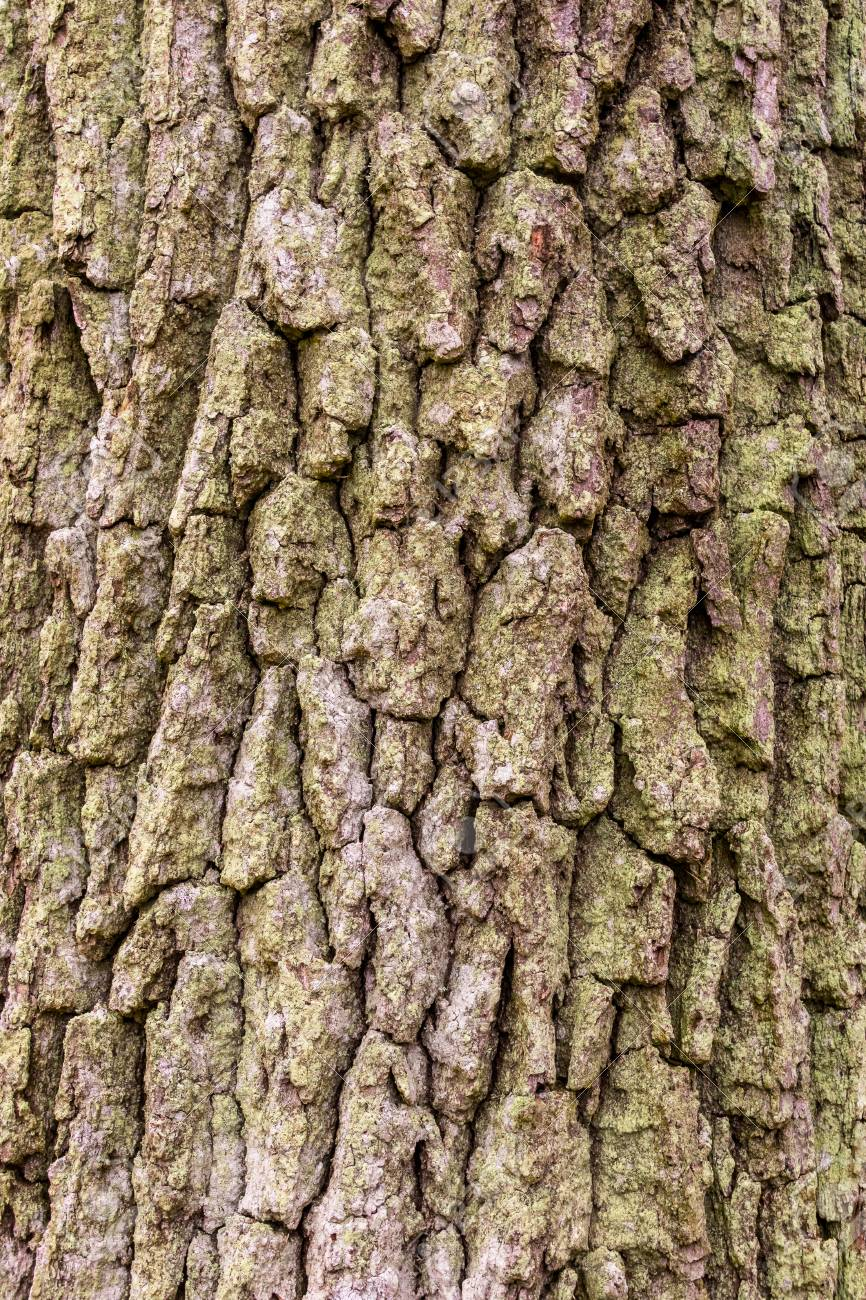 Aged and weathered oak tree texture, outdoor vertical composition. Stock Photo - 94804770