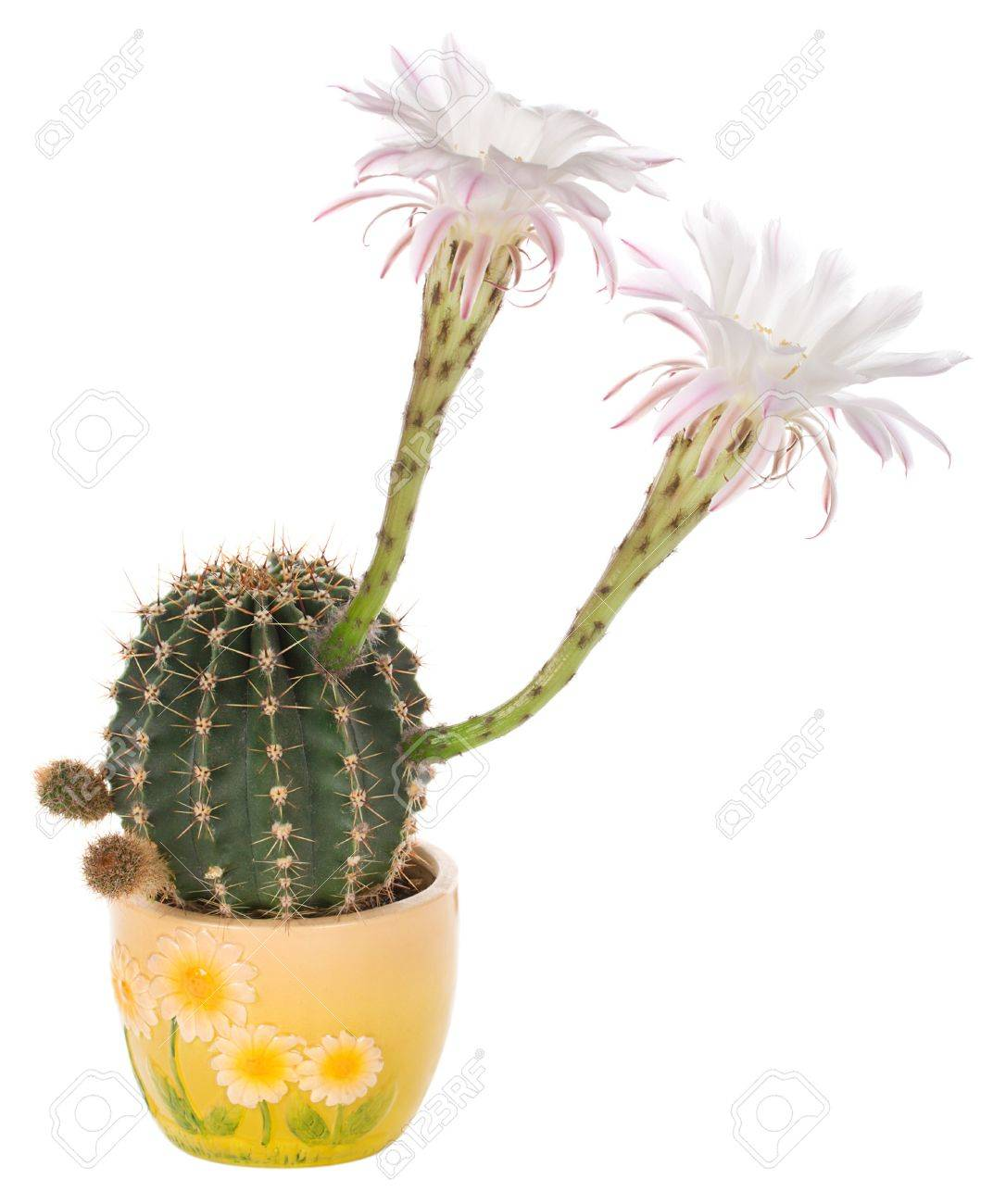 Bloemen In Pot.Bloeiende Cactus Met Witte Bloemen In Pot Gea Soleerd Op Wit