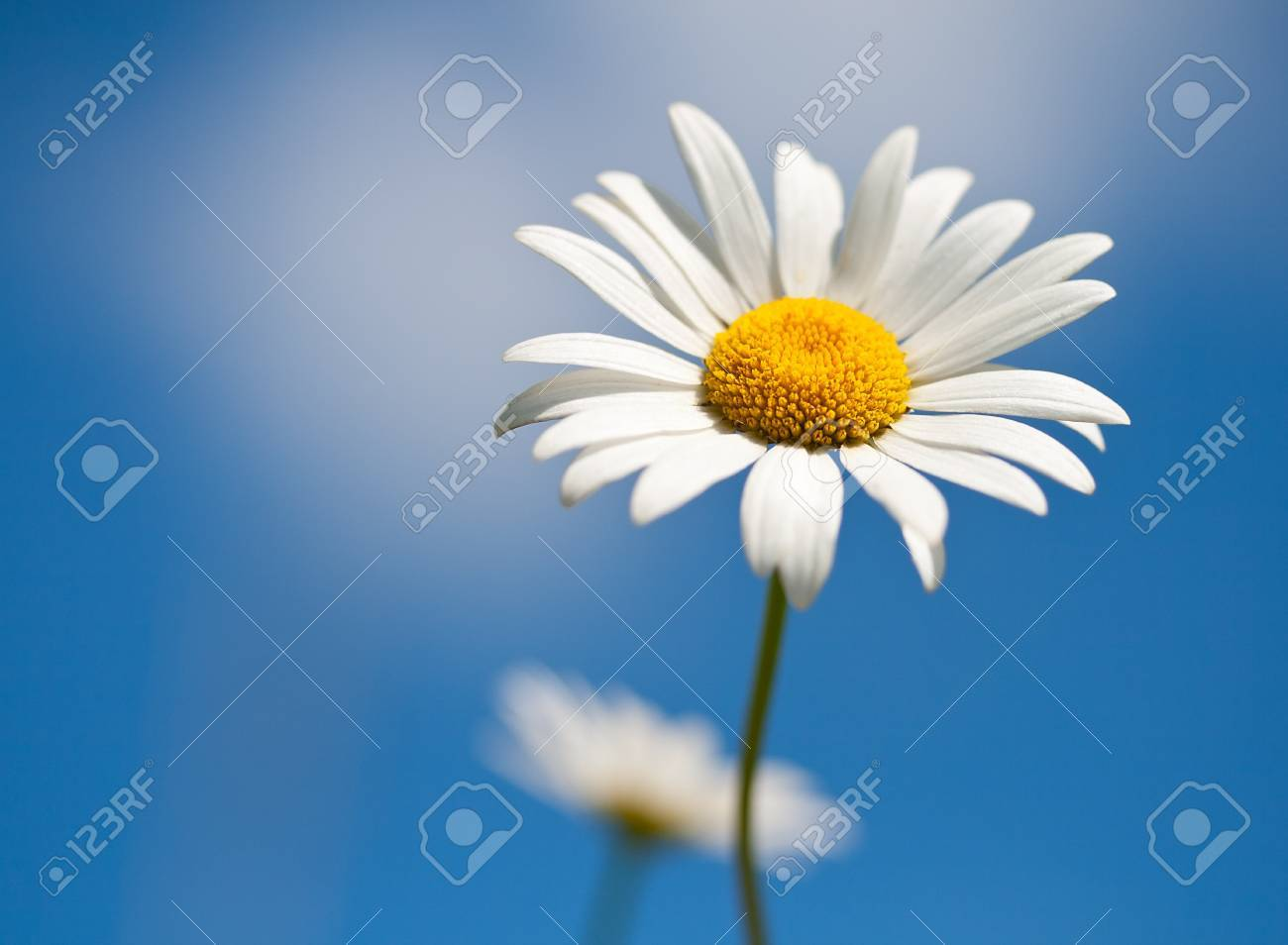 chamomile on blue sky background, selective focus Stock Photo - 8144640