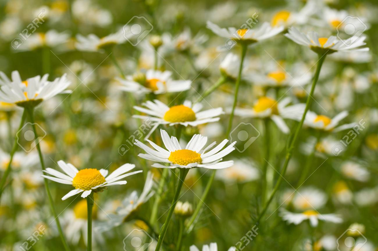 meadow with chamomiles, selective focus Stock Photo - 8402481