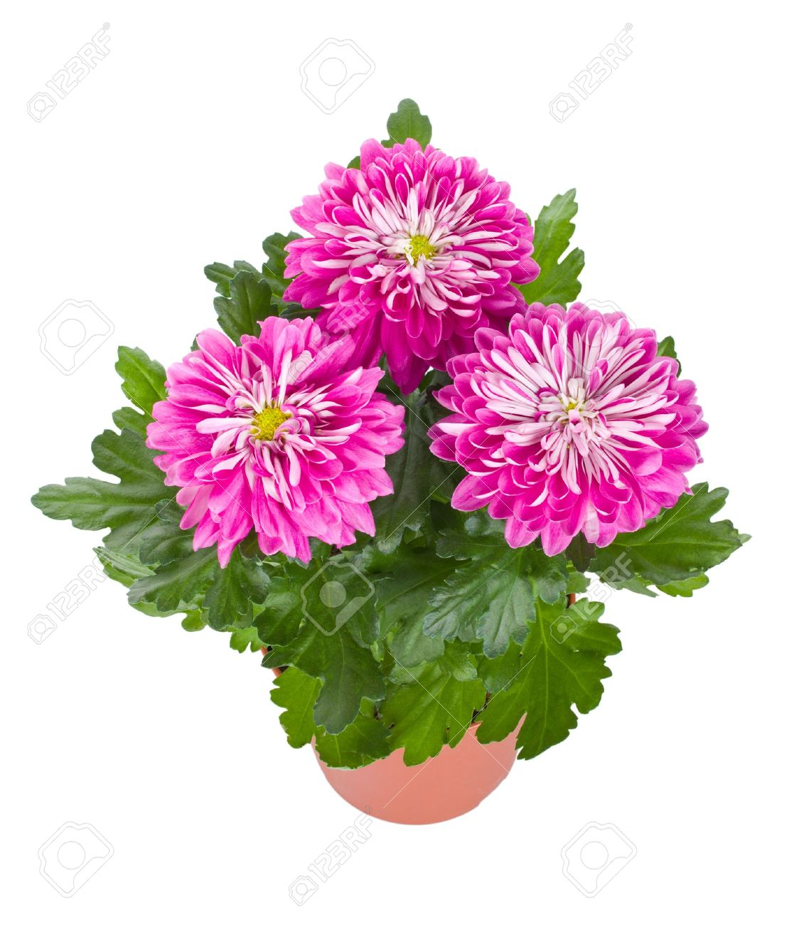 close-up pink chrysanthemum flowers in pot, isolated on white - 8895969