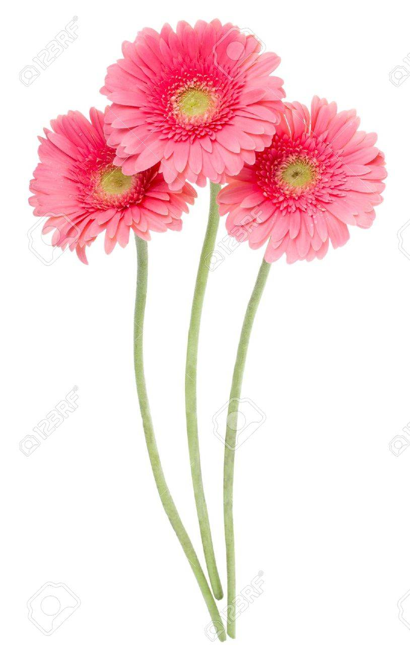 Close up pink gerbera flowers isolated on white stock photo close up pink gerbera flowers isolated on white stock photo 9169916 mightylinksfo