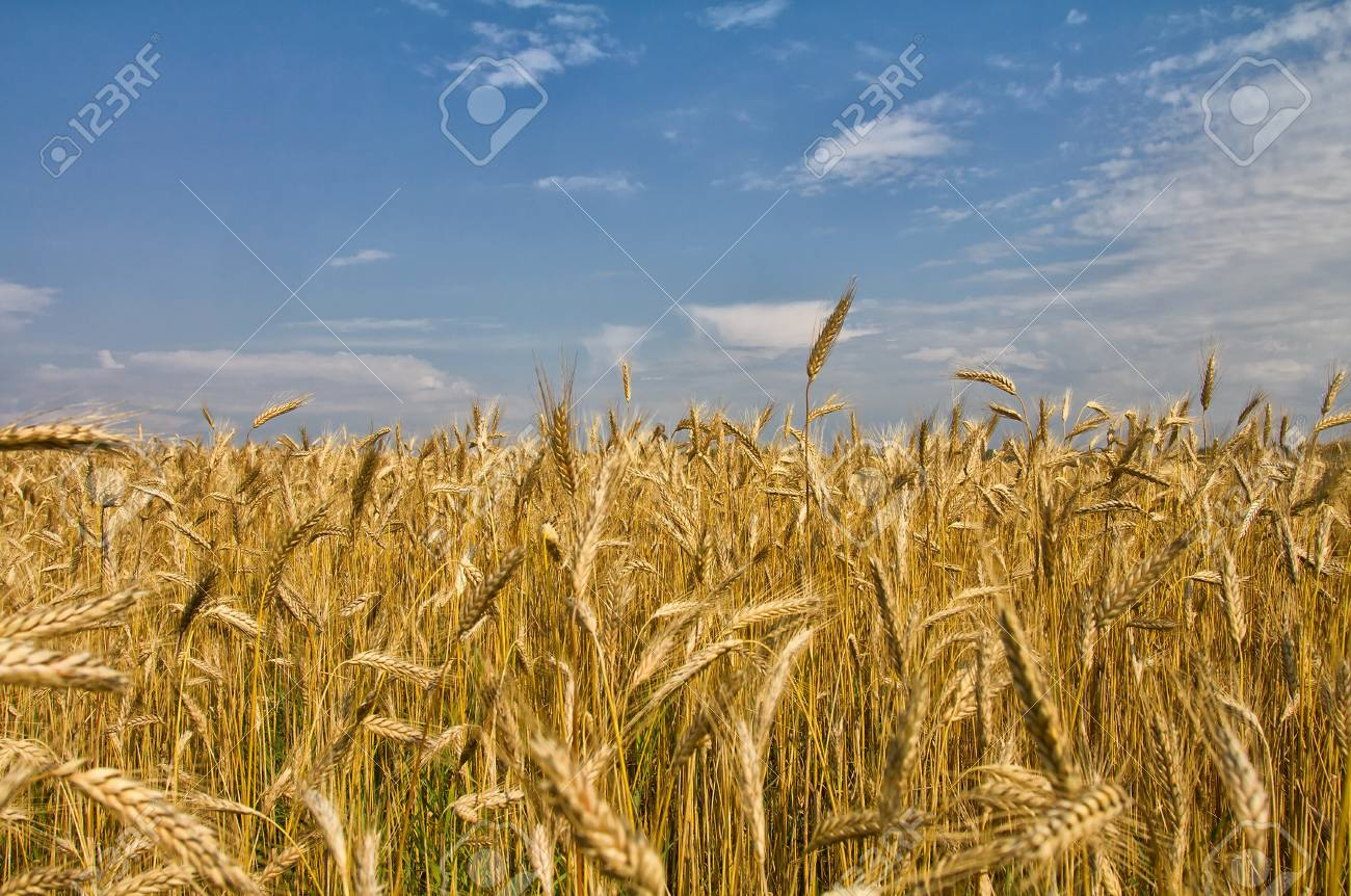 field with ripe wheat against blue sky background Stock Photo - 10821169