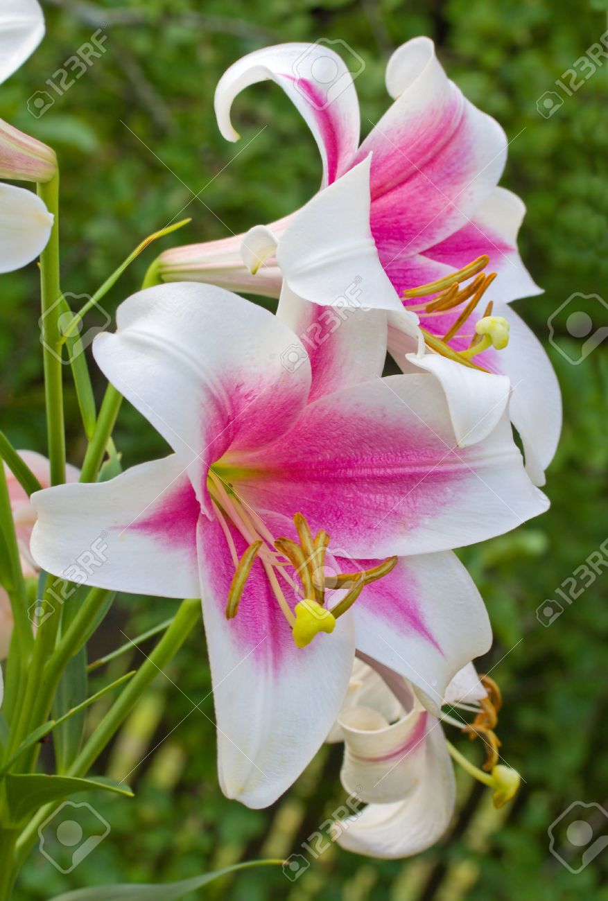 pink-white lily on green background Stock Photo - 12407546