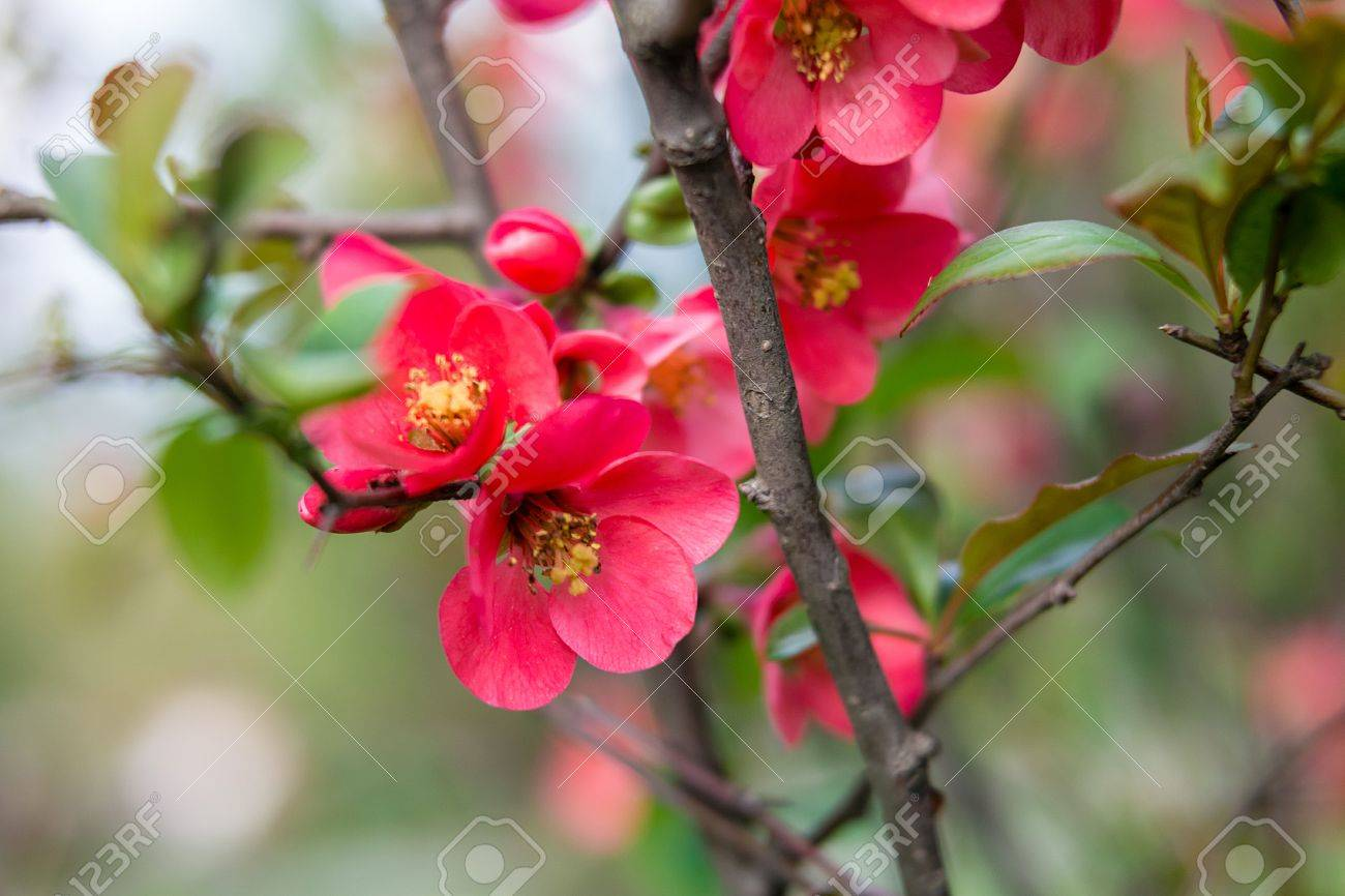 Beautiful Red Pink And Purple Flowers Of Crab Apple Tree With