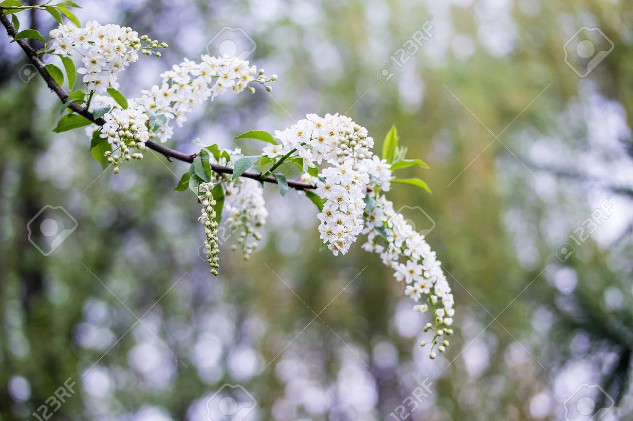 Albero Con Fiori Bianchi brunch sbocciante dell'albero con i fiori bianchi sul fondo di verde del  bokeh. profondità di campo