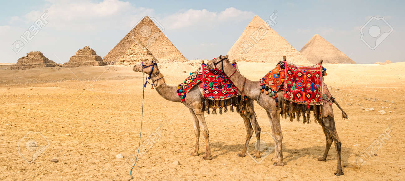Camel in front of the pyramids in Giza, Egypt. - 169030629