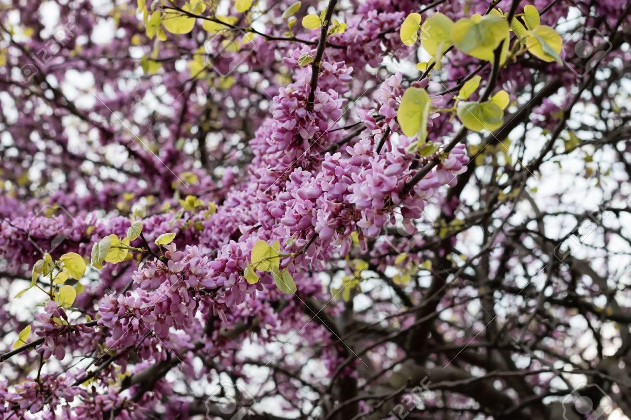 Spring flowering judas tree bright purple flowers and small leaves spring flowering judas tree bright purple flowers and small leaves on the stem stok fotoraf mightylinksfo