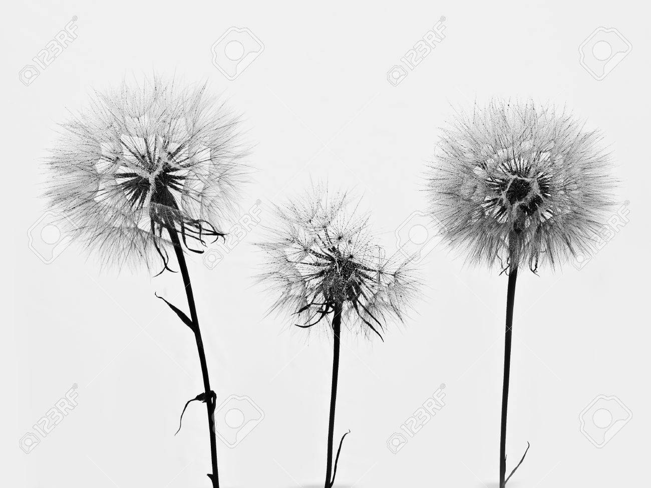 silhouette of three flowers dandelions - 53664303