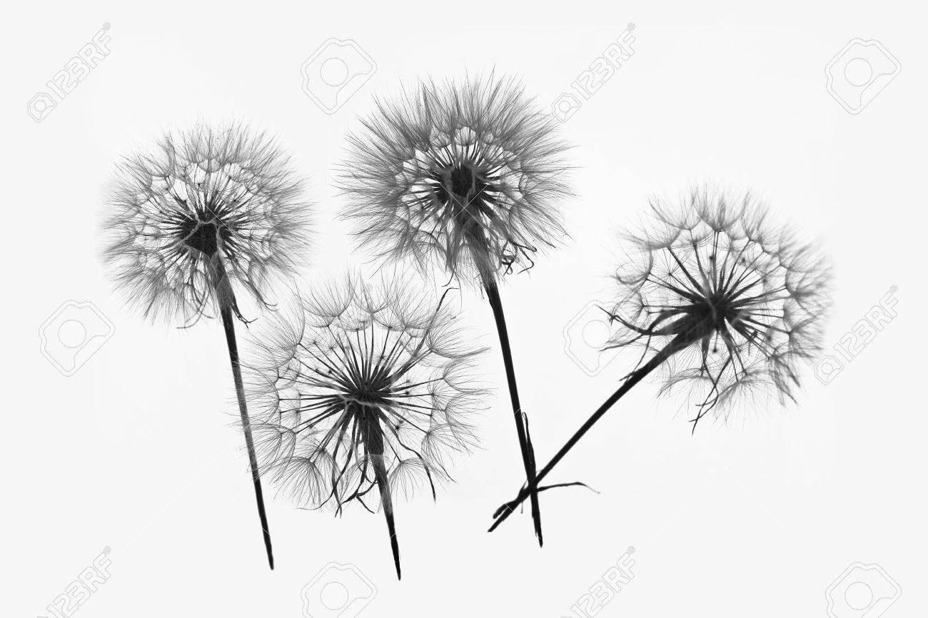 silhouette of four flowers dandelions - 53664305