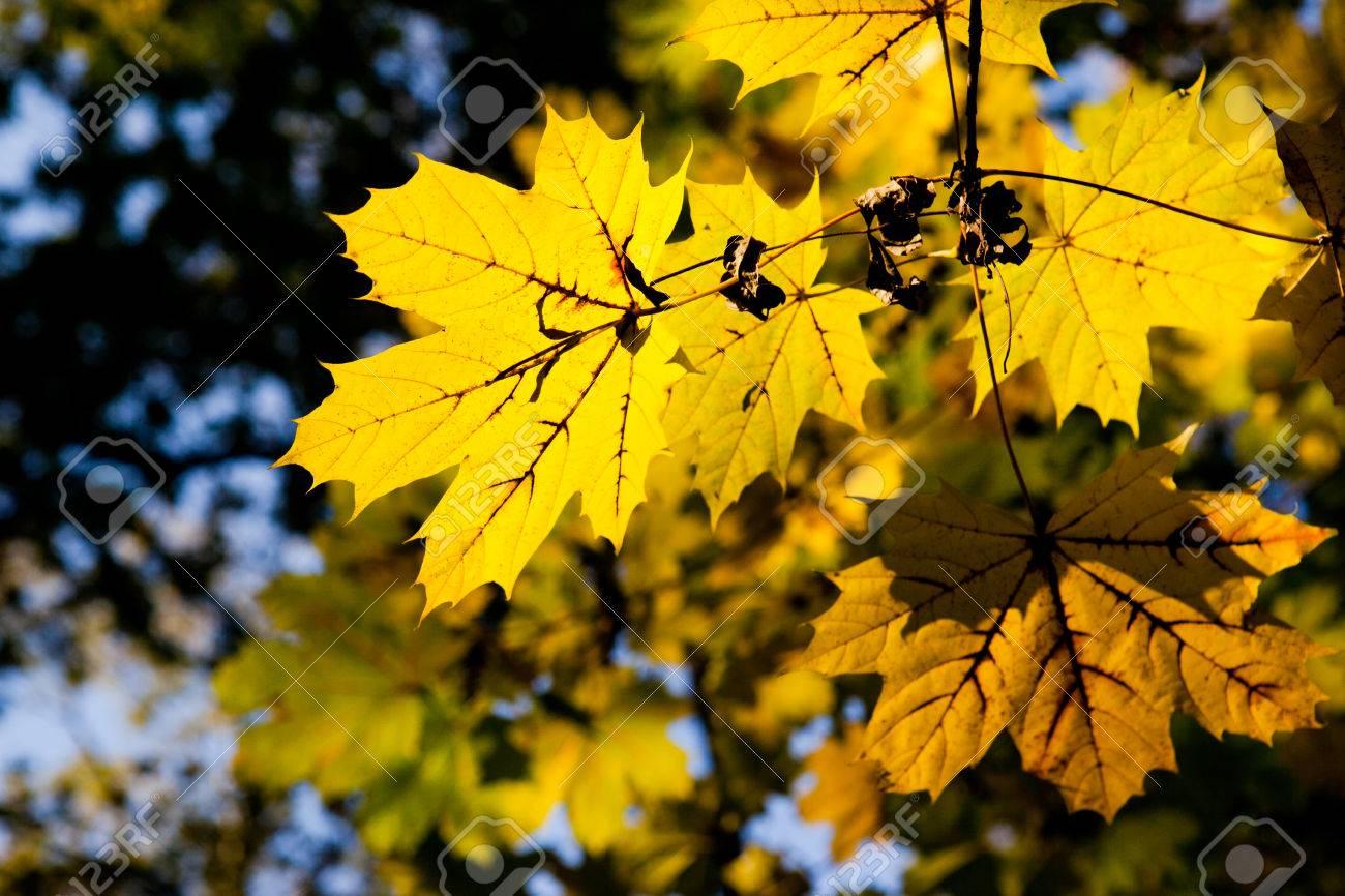 yellow Maple Autumn leaves - 53664310