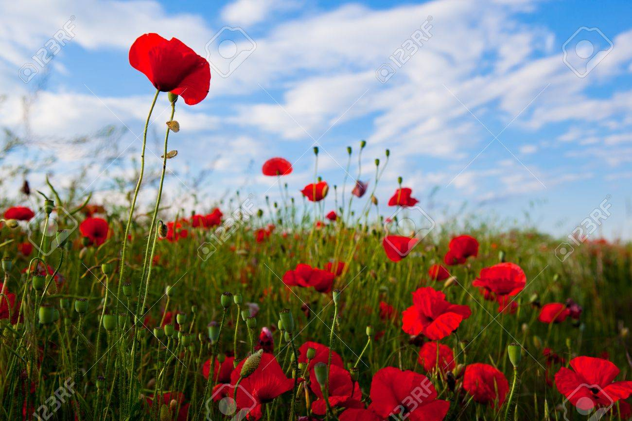 Field of poppy and blue sky - 53670094