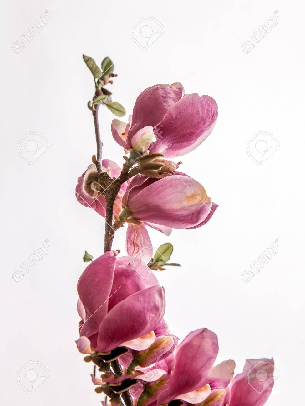 Magnolia soulangeana twig on the white background - 56195520