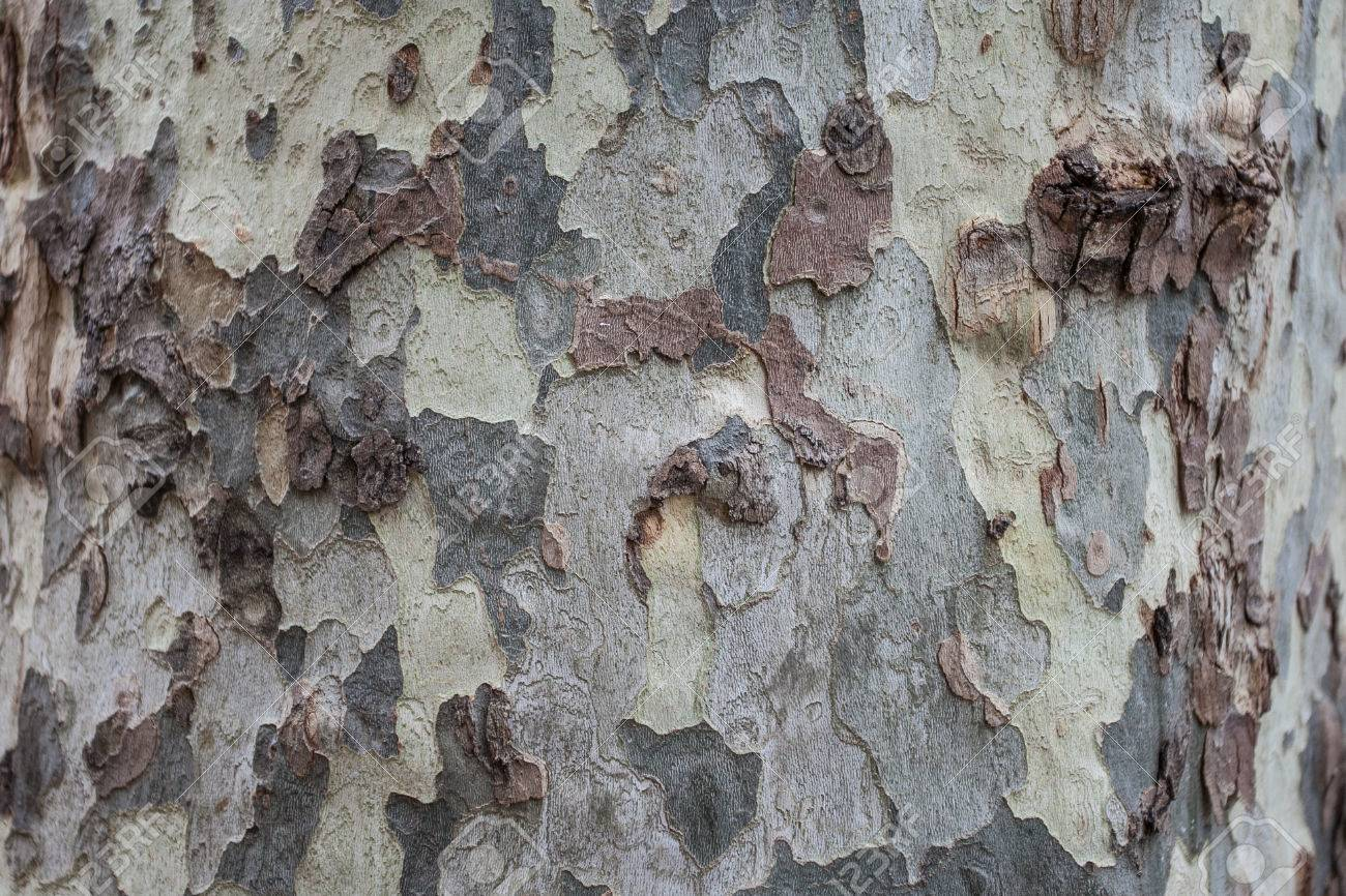 Detail Old bark of sycamore - 58442474