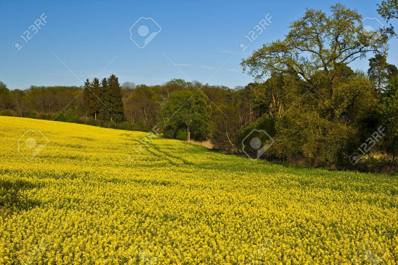 beautiful field of yellow flowers of rape - 58442488