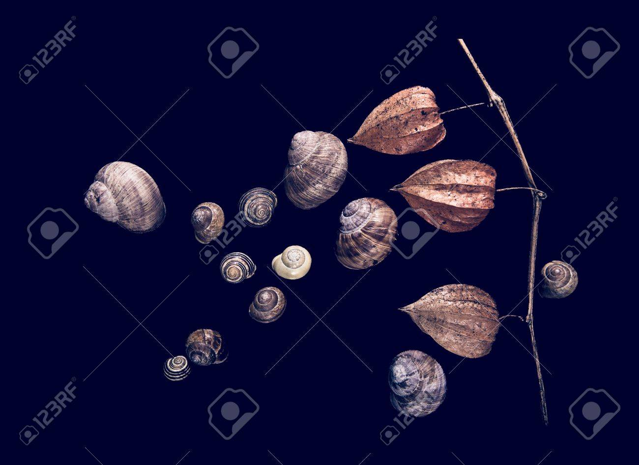 colse up physalis peruviana flower and snail shells - 62058275