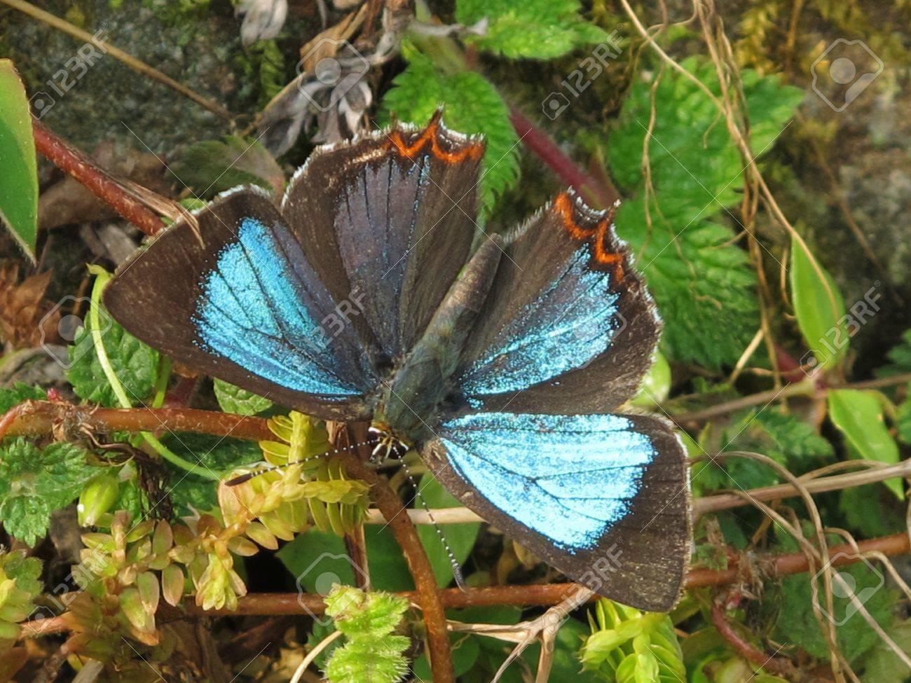 Powdery Green Sapphire butterfly Stock Photo - 14023086