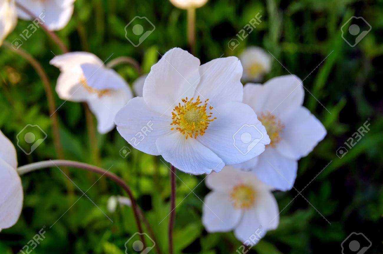 Hermosas Flores Blancas Sobre Fondo Verde Cesped Fotos Retratos