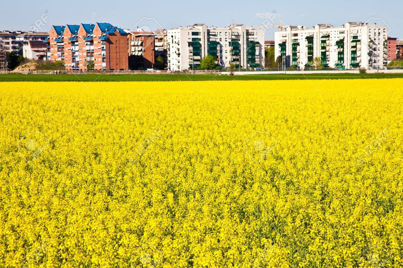 Field Of Yellow Flowers In Spring Season Close To The Border Stock