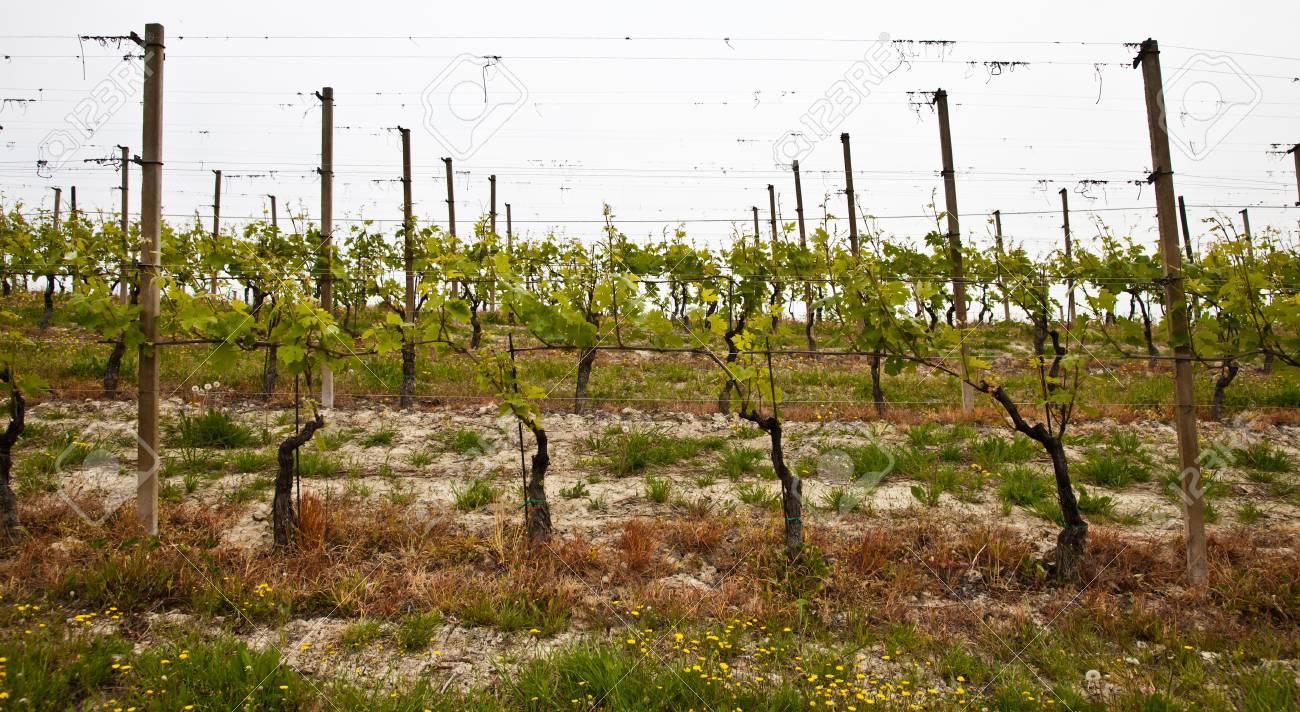 Barbera vineyard during spring season, Monferrato area, Piedmont region, Italy Stock Photo - 10551429