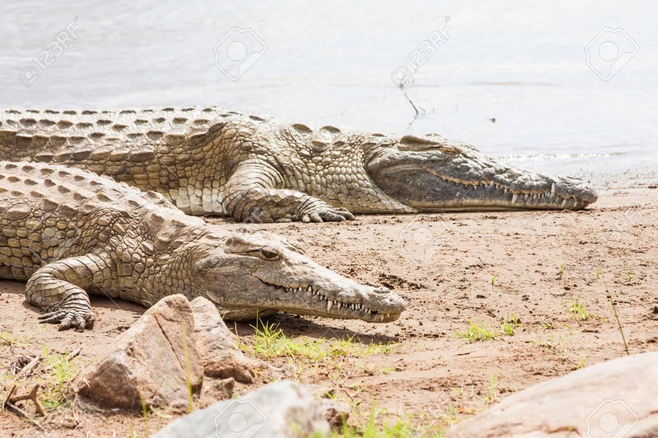 Kenya, Tsavo East National Park. Crocodiles  joining the last sun before the sunset Stock Photo - 15798768