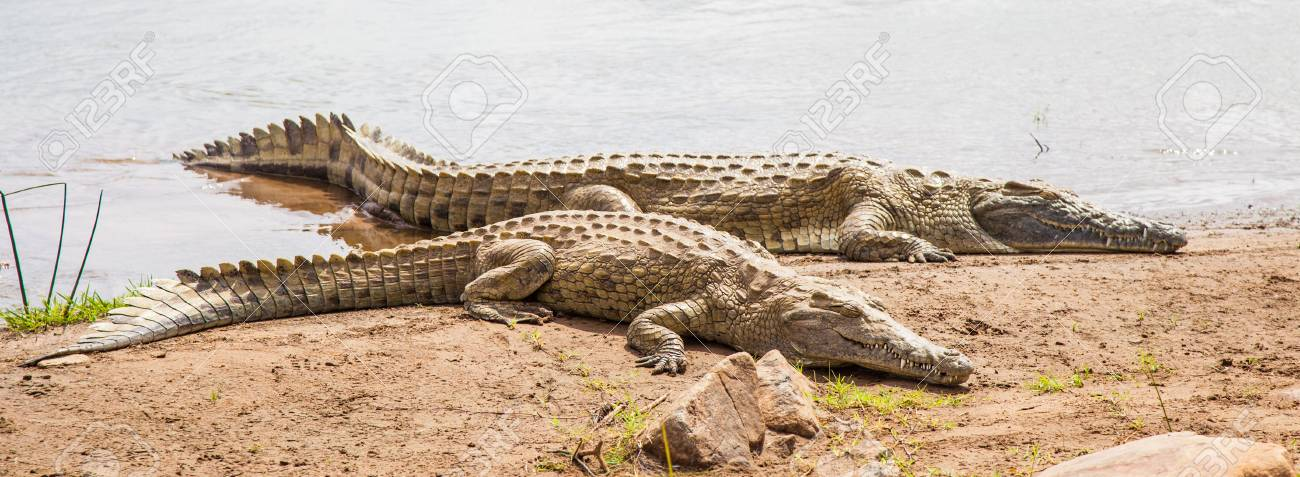 Kenya, Tsavo East National Park. Crocodiles  joining the last sun before the sunset Stock Photo - 15910966