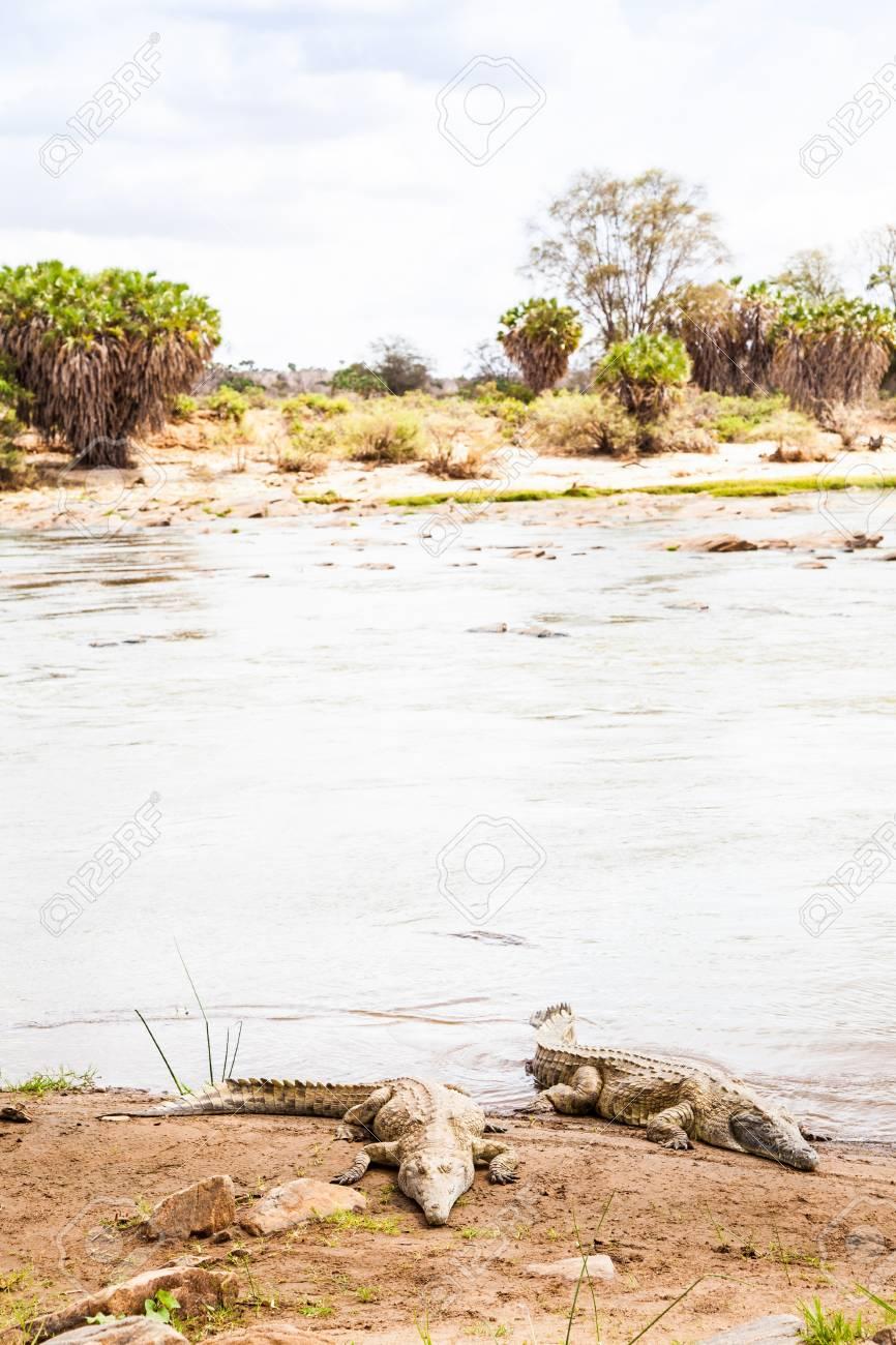 Kenya, Tsavo East National Park. Crocodiles  joining the last sun before the sunset Stock Photo - 17189084
