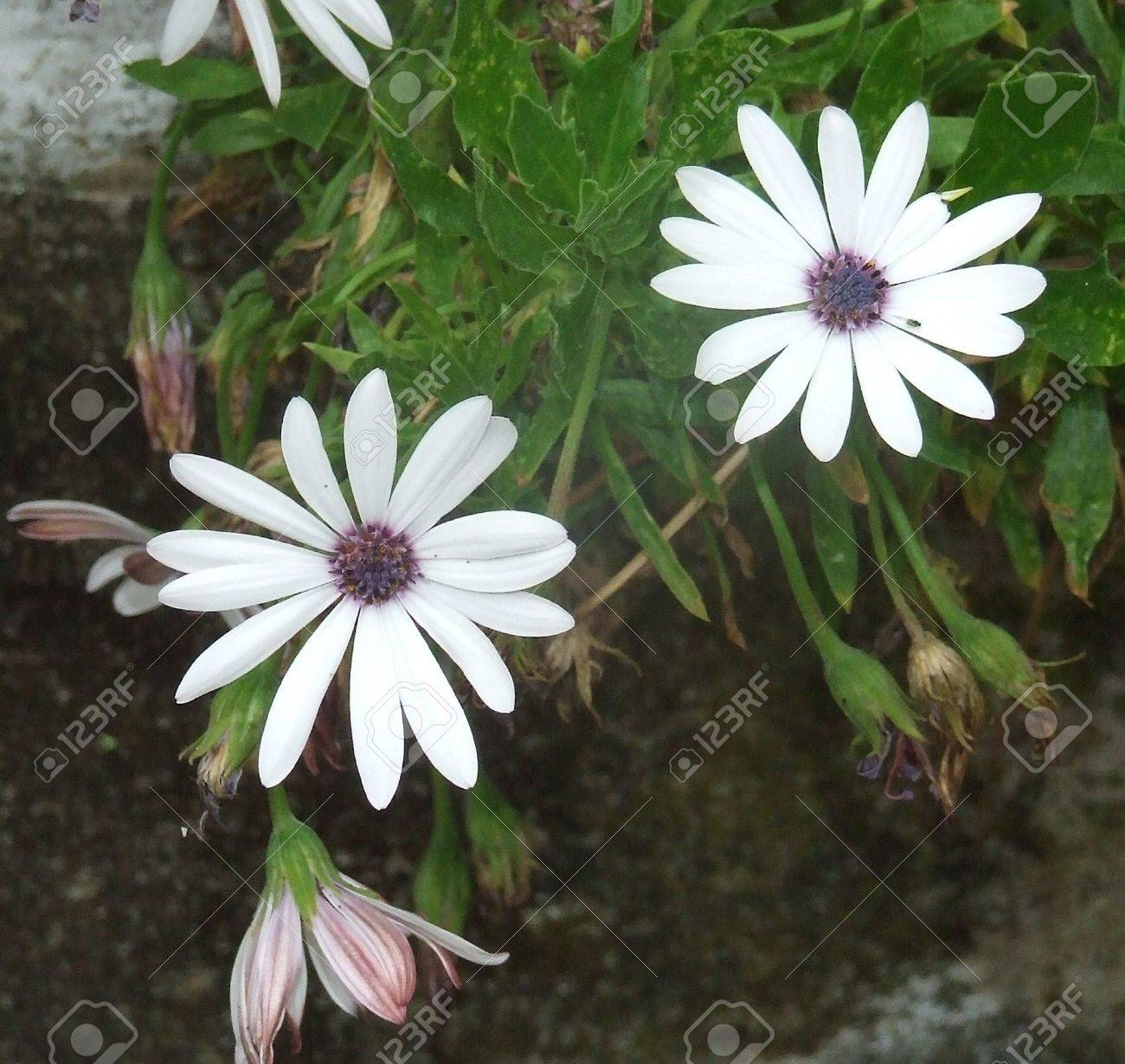 Flowers similar to daisies but with violet steams stock photo flowers similar to daisies but with violet steams stock photo 961109 izmirmasajfo Choice Image