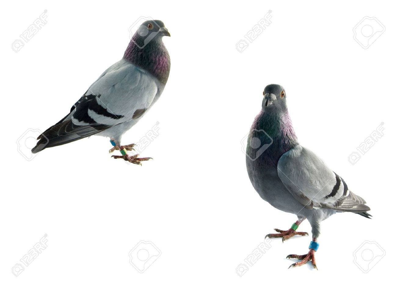 two grey pigeons isolated on white background - 7253983