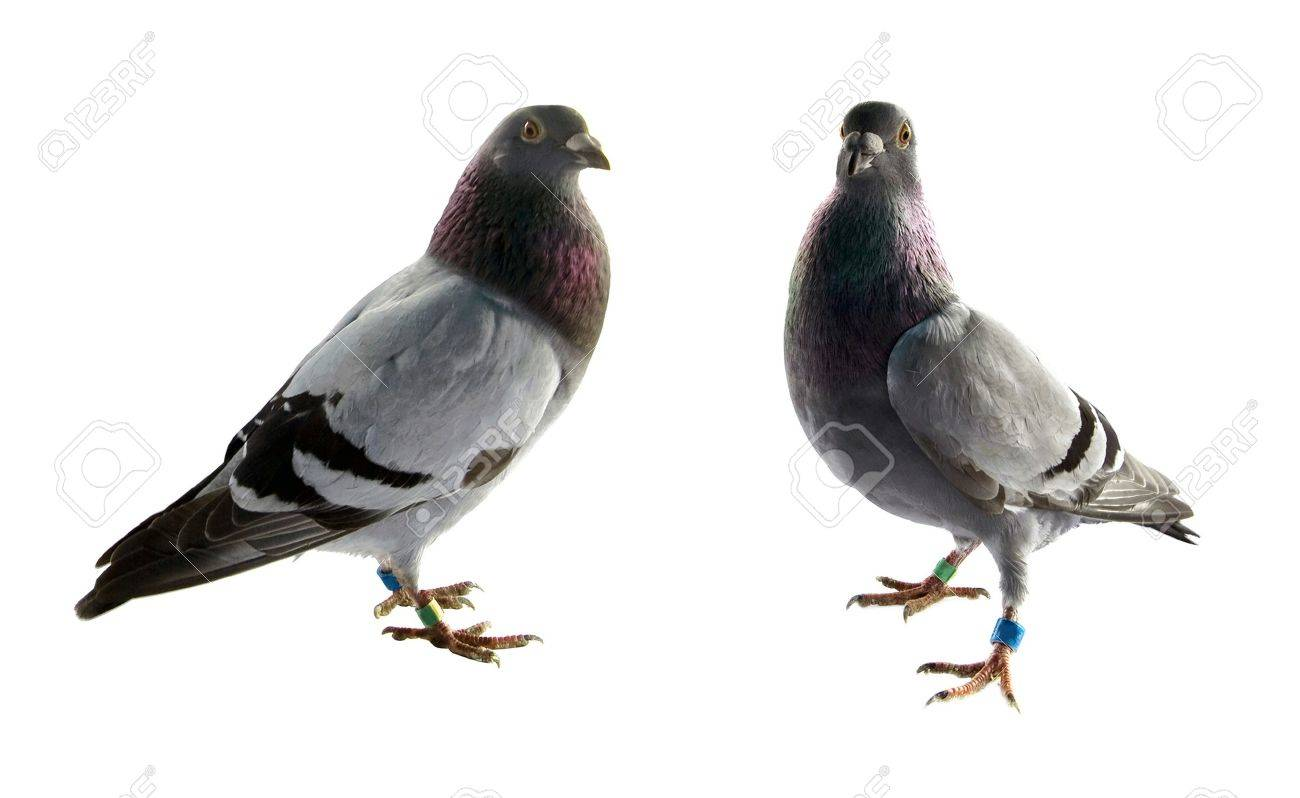two grey pigeons isolated on white background - 11298906