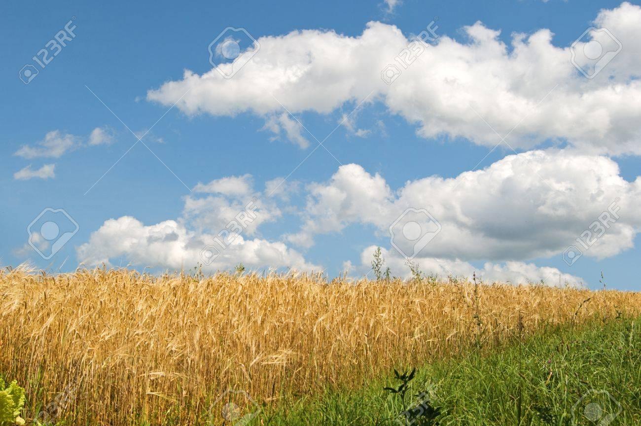 barley field close up - 14670850