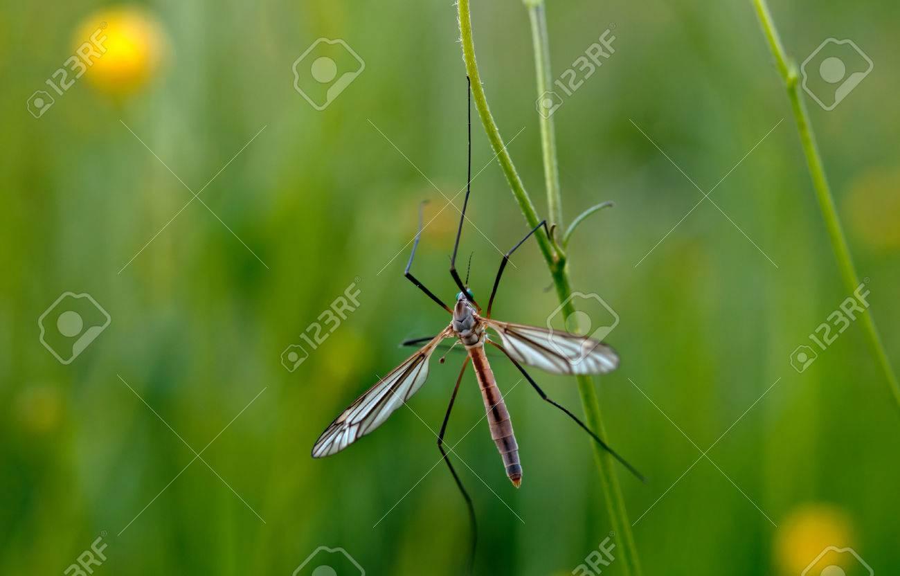 mosquito nematocera on grass, on green background - 41038757