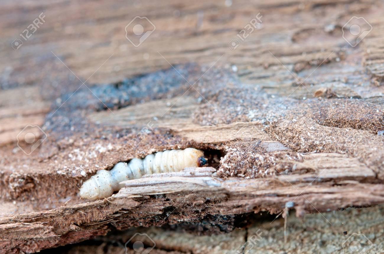 little woodworm lies on tree - 46780224