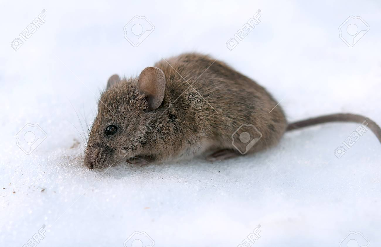 a house mouse (Mus musculus). A close up - 66291270