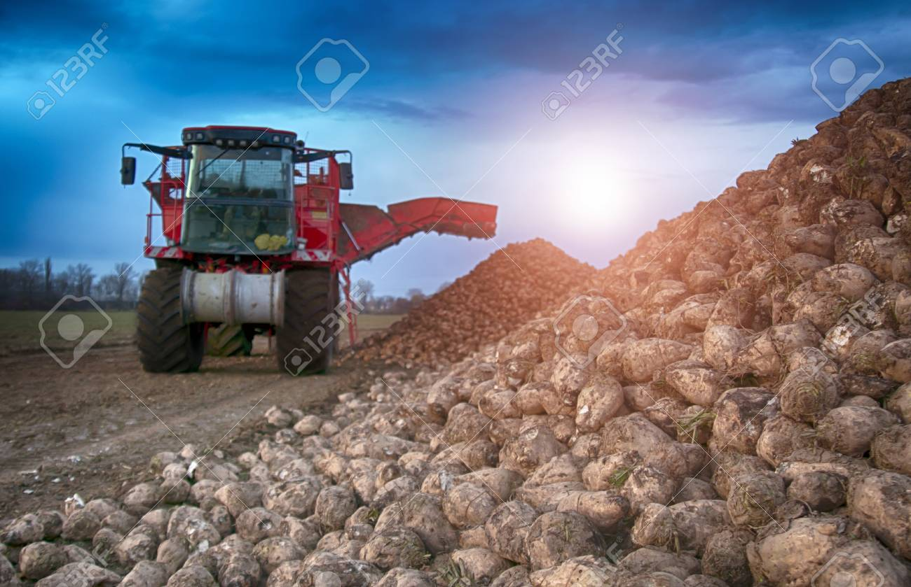sugar beet harvesting machine - 89481577