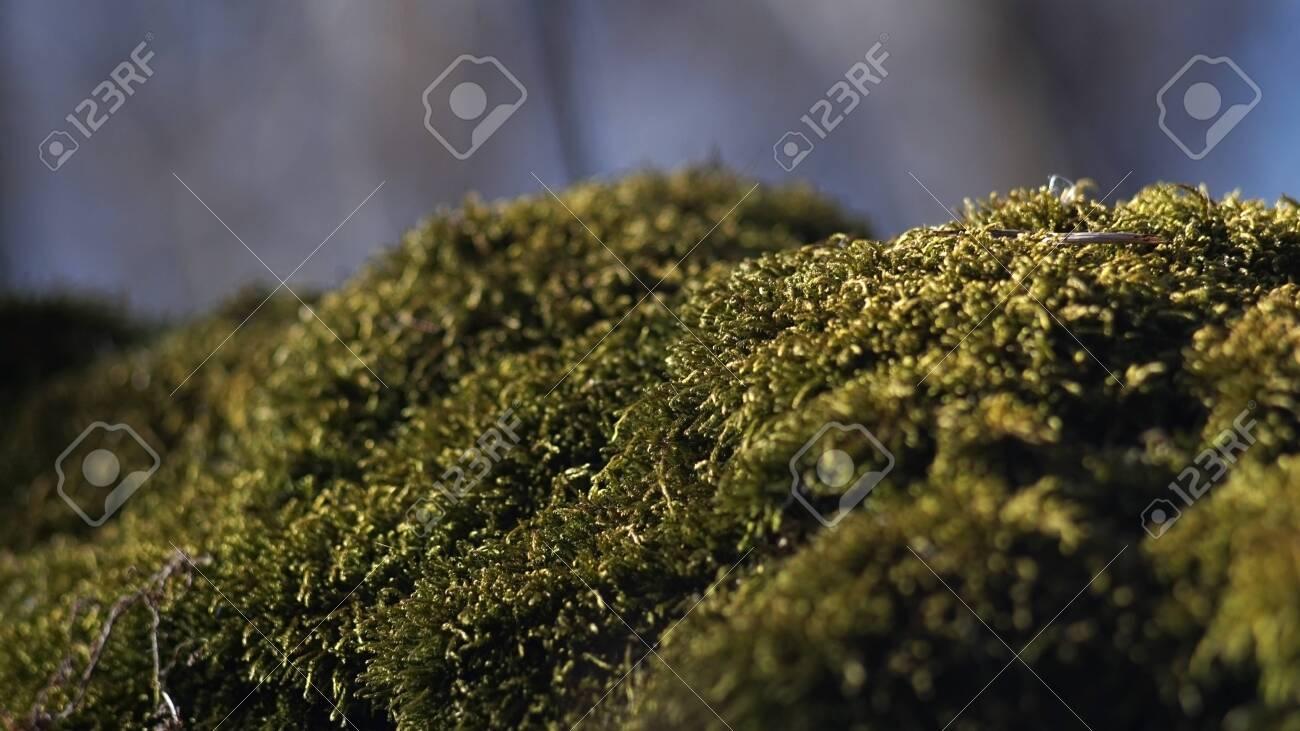 Beautiful green moss on the floor, moss closeup, macro. Beautiful background of moss for wallpaper - 121347477