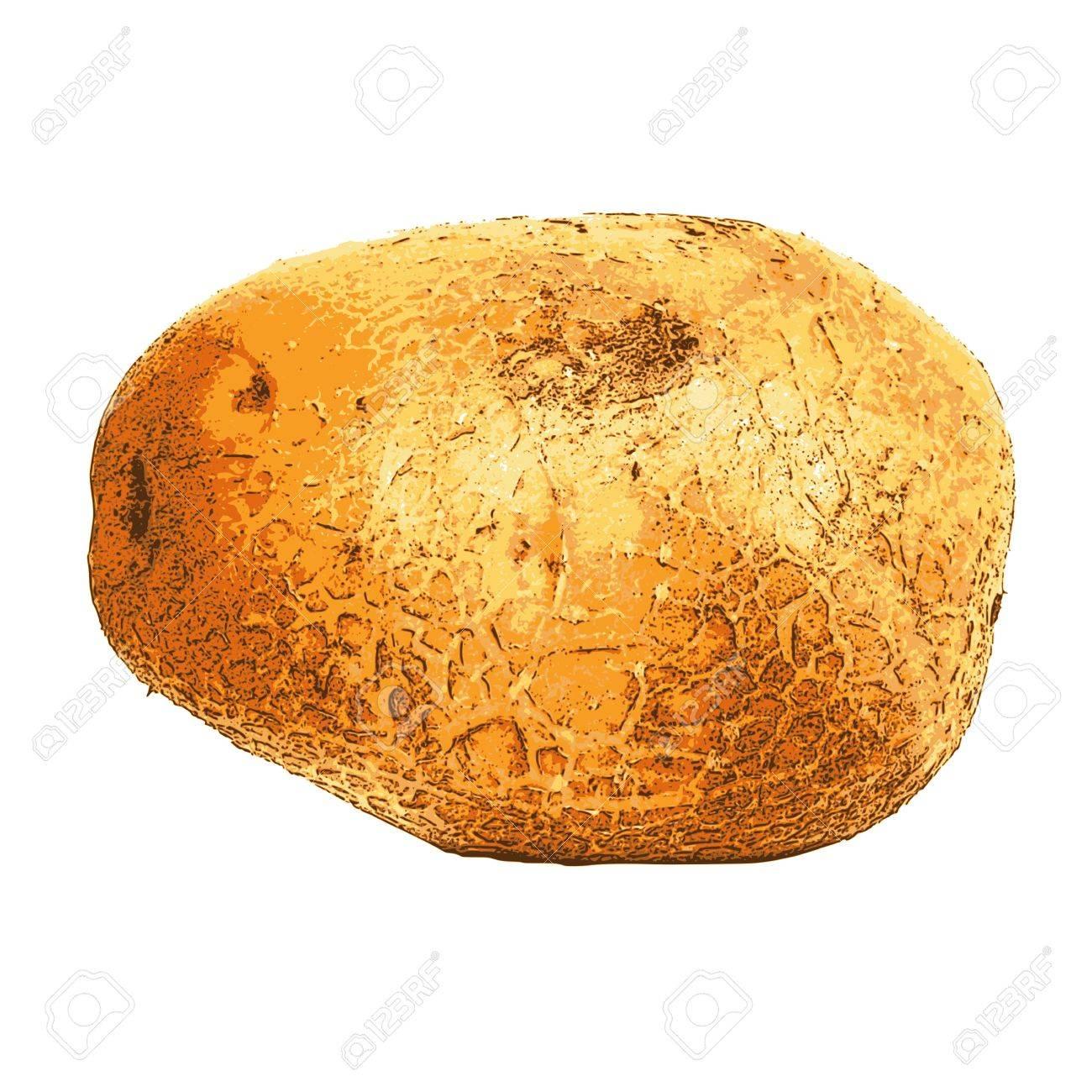 photorealistic, vector, traced illustration of potato Stock Vector - 21952445