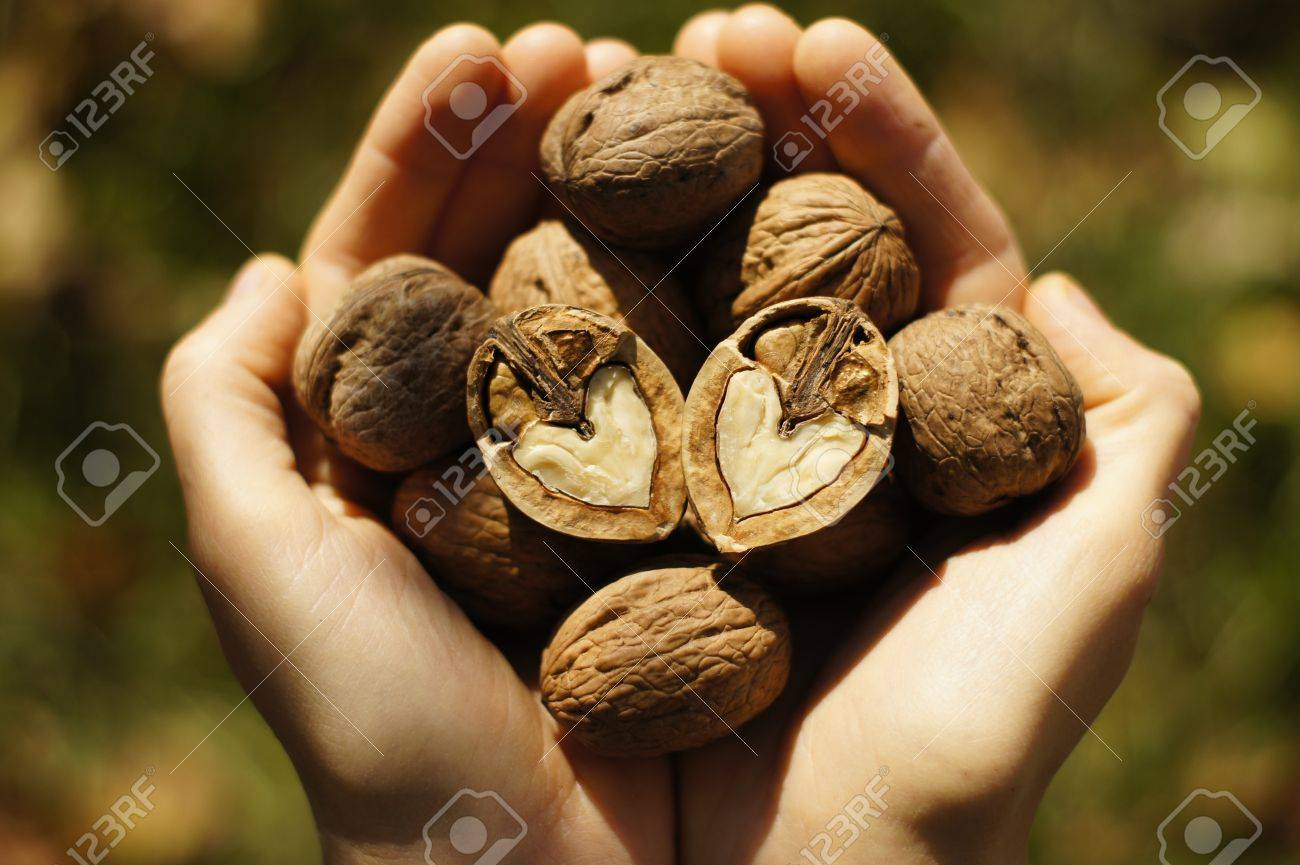 Two hands filled with walnuts Stock Photo - 11134038