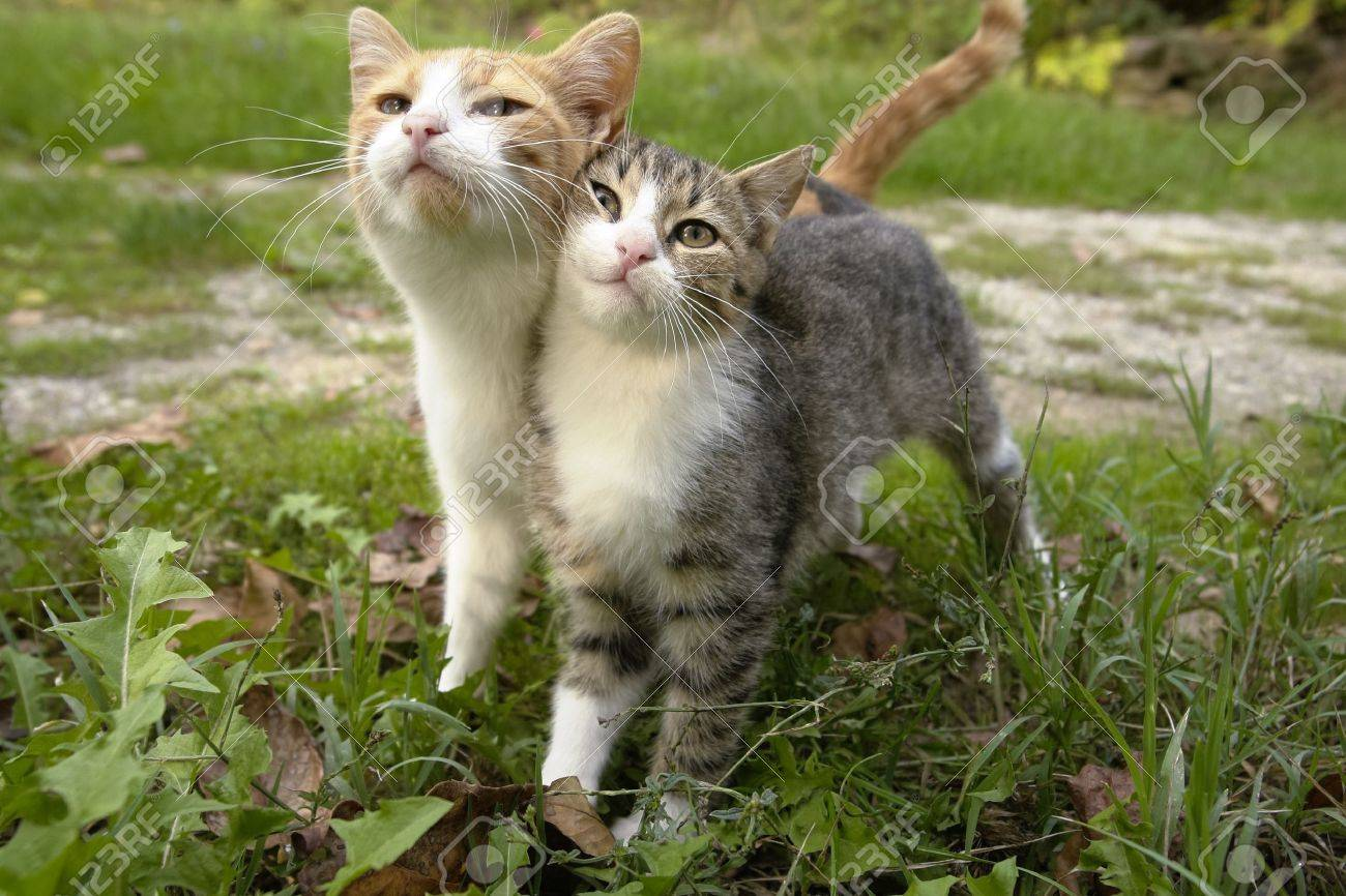 Two kittens leaning on eachother together as friends Stock Photo - 11784561