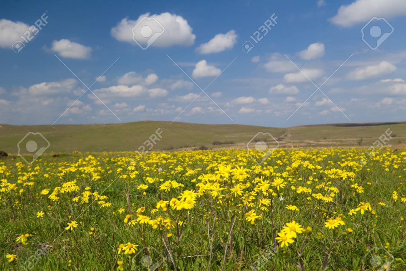 Wild yellow flowers with green fields white clouds and blue stock stock photo wild yellow flowers with green fields white clouds and blue sky mightylinksfo