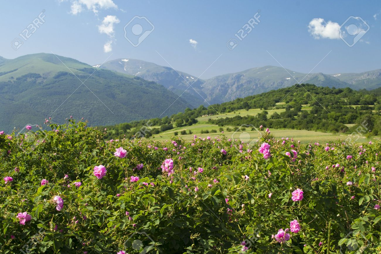 The Famouse Rose Fields In The Tracian Valley Near Kazanlak Bulgaria Stock Photo, Picture And Royalty Free Image. Image 14166200.