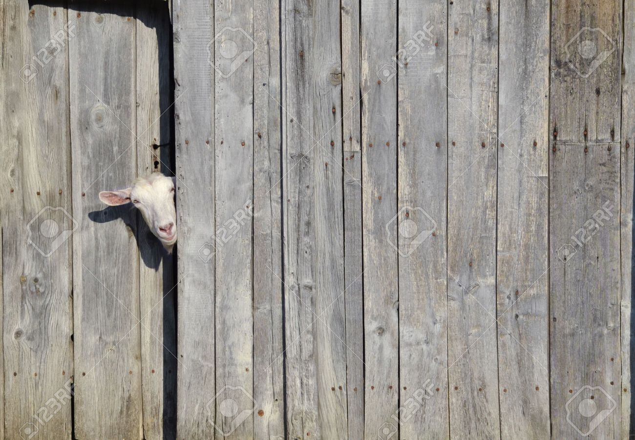Curious goat peeking through the door of a wooden shed Stock Photo - 14829284