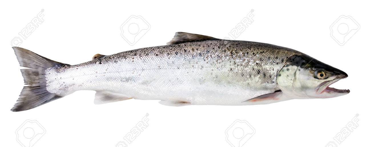 Sea trout fish isolated on white background - 39024006
