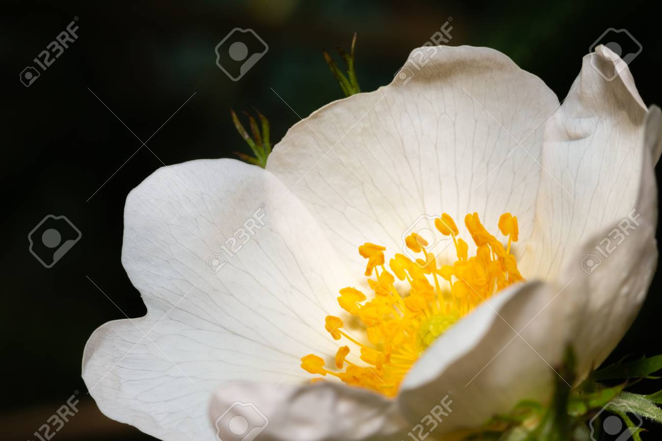 Close up of a white flower with a yellow stem stock photo picture close up of a white flower with a yellow stem stock photo 102670449 mightylinksfo