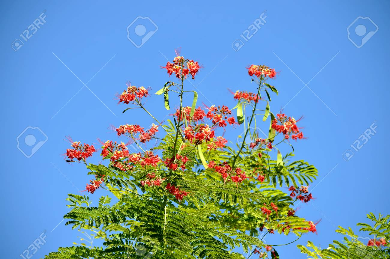 Pride Of Barbados Latin Name Caesalpinia Pulcherrima Stock Photo