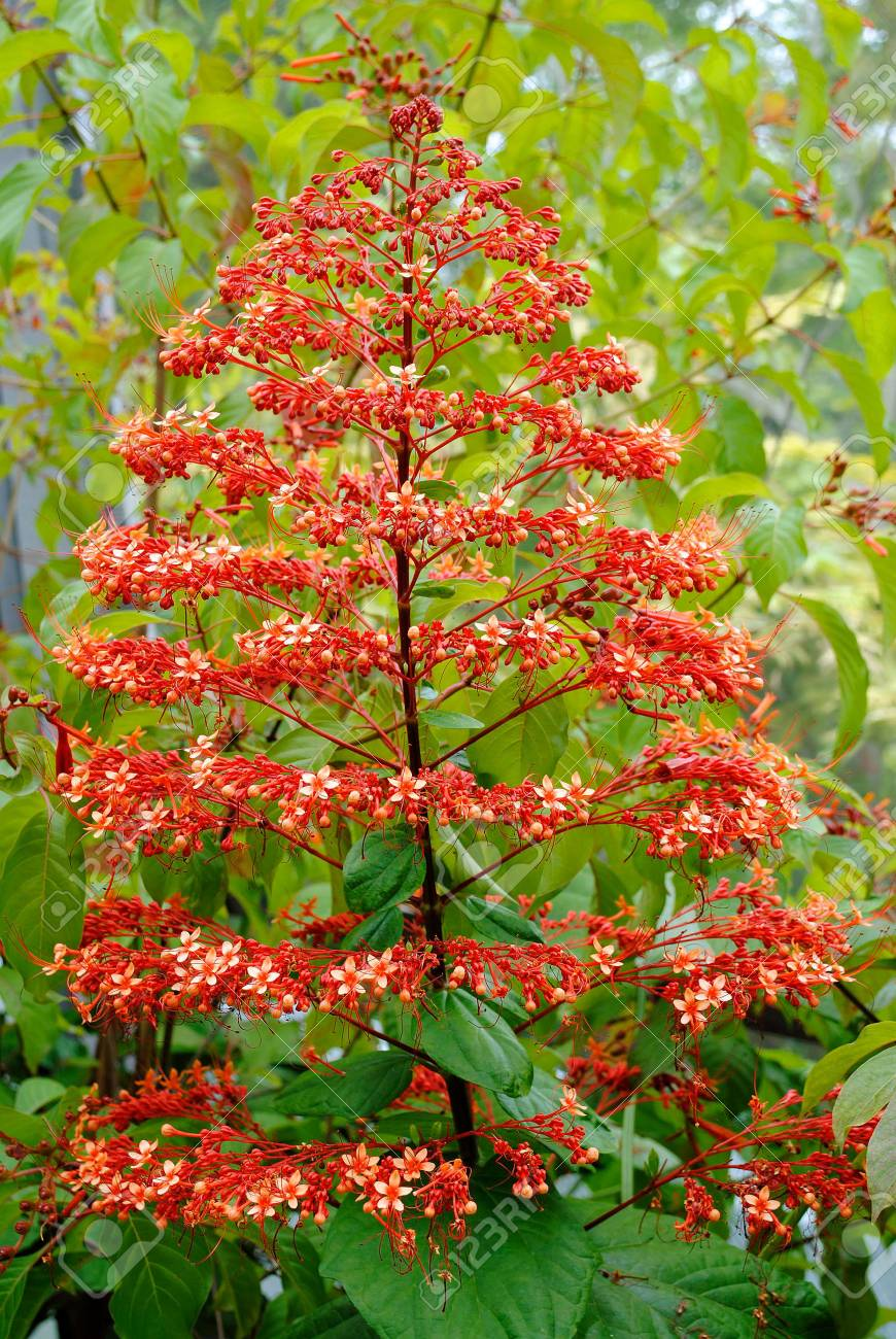 Clerodendrum buchananii flowers growing in a garden in Florida